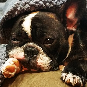 French Bulldog takes nap after surgery.