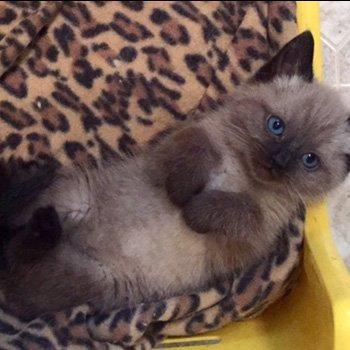Sweet Siamese kitten.
